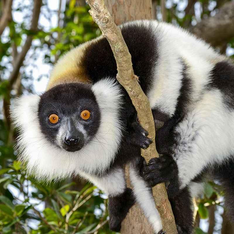 Lemur-Madagascar-Main