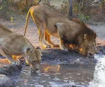 Male and female lion drinking water