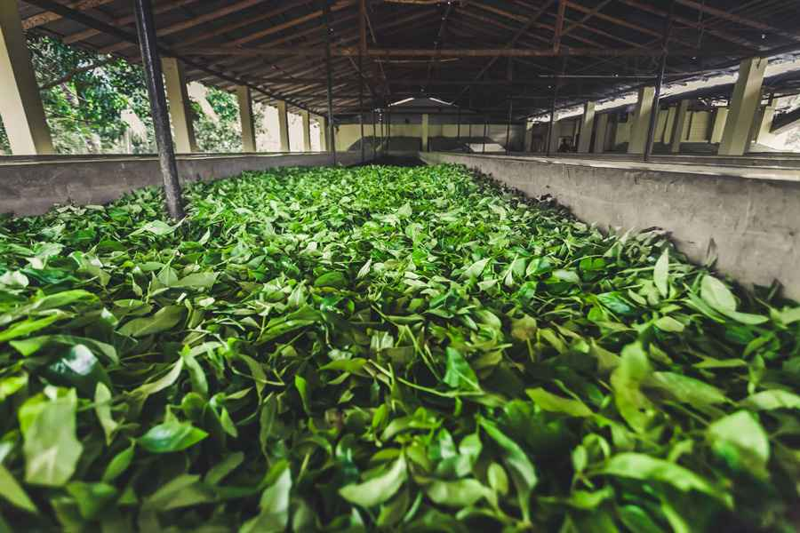 Tea leaves storage on the plantation. Sri Lanka.