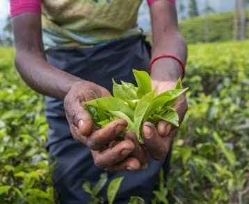 Tea picker Nuwara Eliya