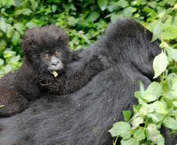 baby-gorilla-virunga-mountains