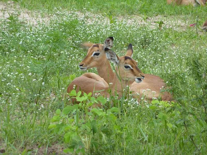 botswana-impala-at-chobe