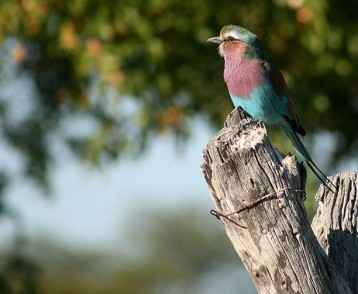 botswana-lilac-breasted-roller