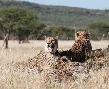 cheetahs-okonjima-namibia-resize