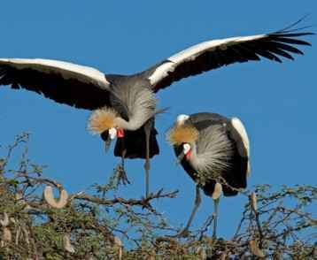 crowned-cranes-at-hwange