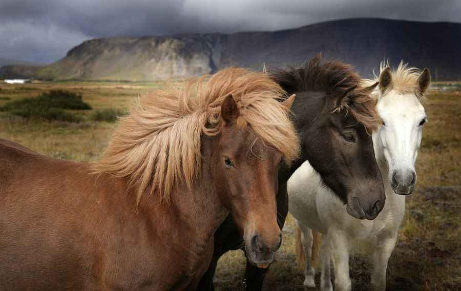icelandic-horses-lores