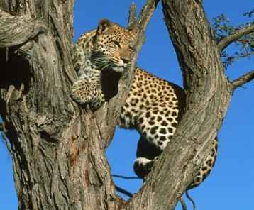 Leopard Panthera pardus Are accomplished tree climbers. Africa to Far East & South East Asia © M. Harvey AF_LEO_043