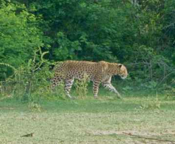 leopard-in-yala-national-park