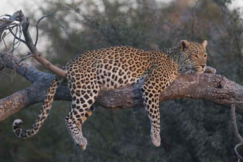 leopard-resize