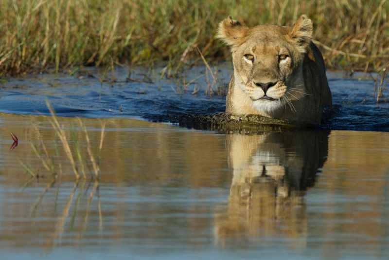 lion-at-hwange-resize