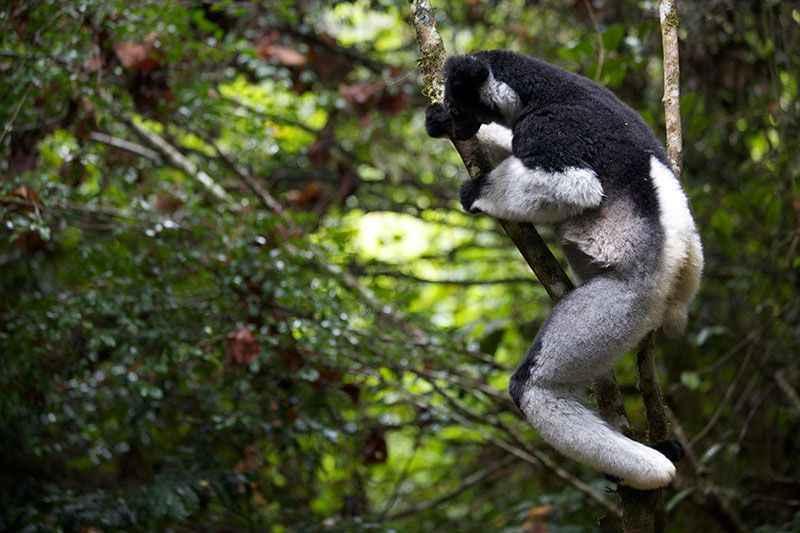 madagascar-indri-lemur