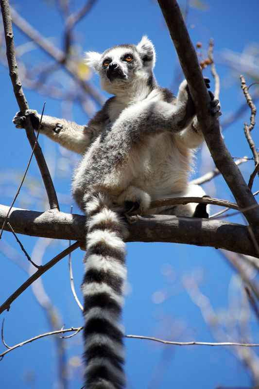 madagascar-ring-tailed-lemur