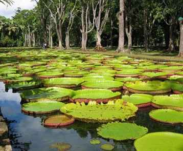 mauritius-giant-water-lilies-at-pamplemousse