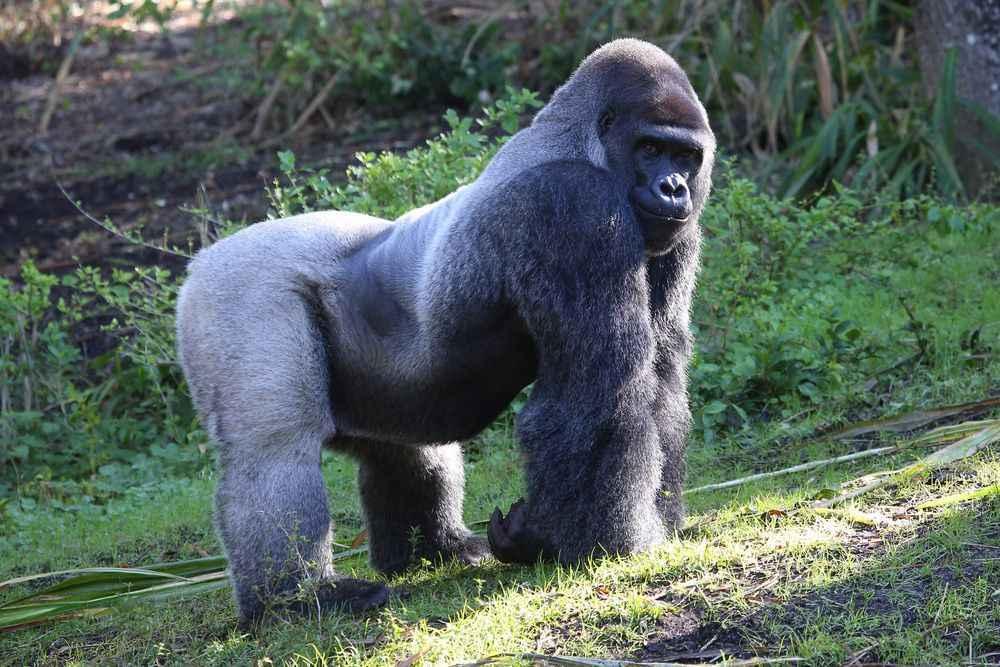 silverback-virunga-mountains-rwanda-1
