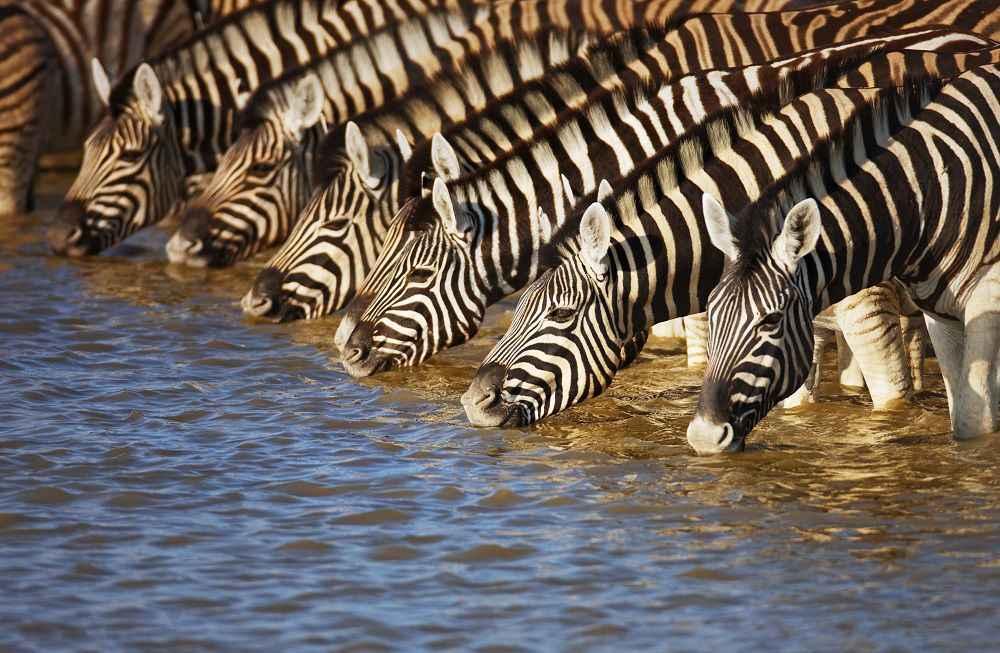 zebra-drinking-resize