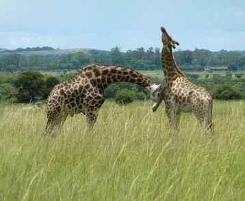 zimbabwe-giraffe