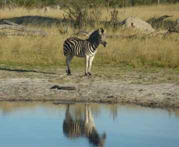 zimbabwe-zebra