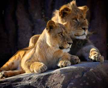 Two young lions