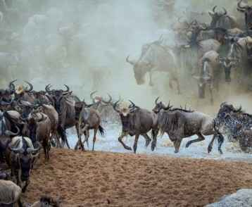 Wildebeest migration 2
