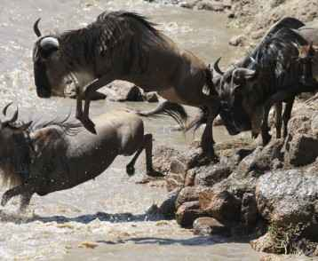 Wildebeest migration 3