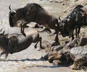 Wildebeest crossing the Grumeti river