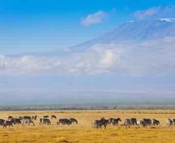 Zebra herd Kilimanjaro