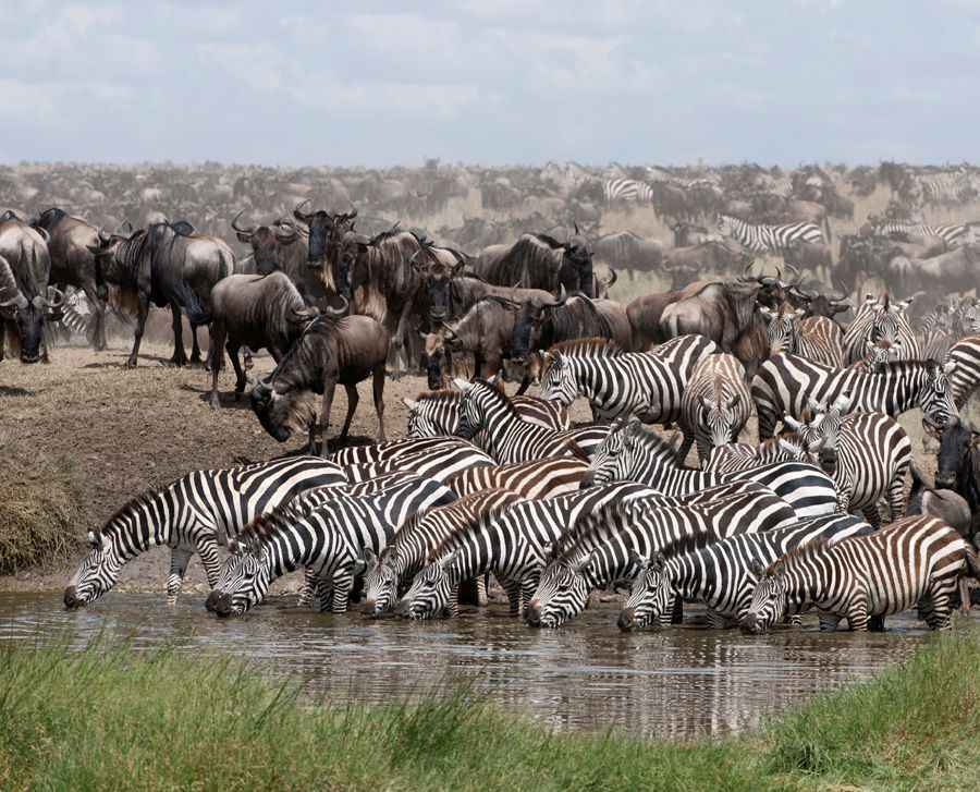 zebra and weildebeest