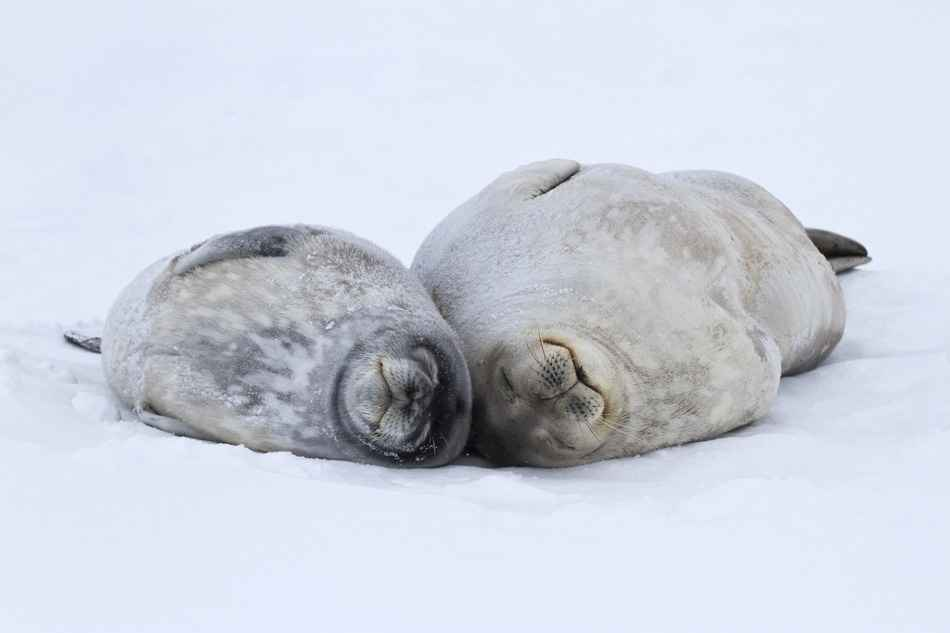 Anarctica-Weddell seal