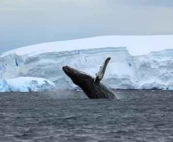 Antarctica - Whale