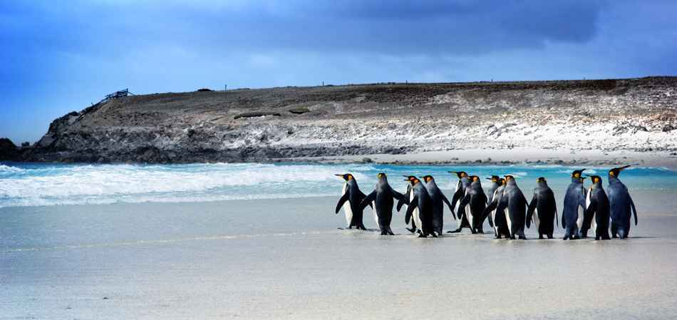 Falkland_Islands_Wildlife_King_Penguins