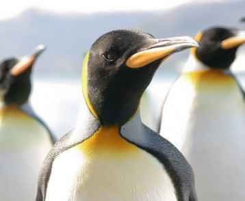 King_Penguins_shutterstock_108569390