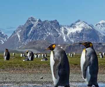 Penguins South Georgia-Main
