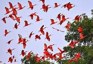 scarlet ibis-blog