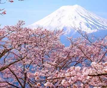 Mt Fuji-Cherry Blossom-main