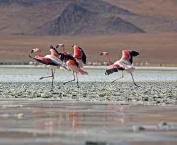 Flamingos Laguna Colorado Bolivia