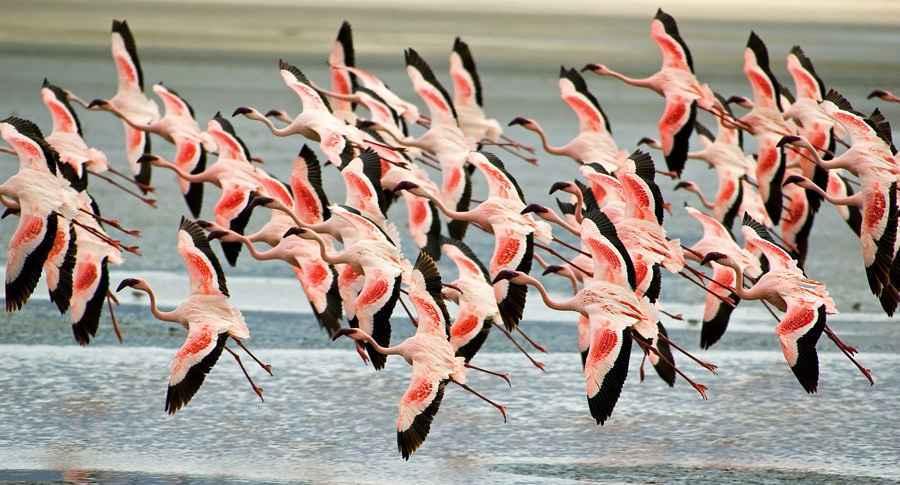Flock of wild flamingos over a salt marsh