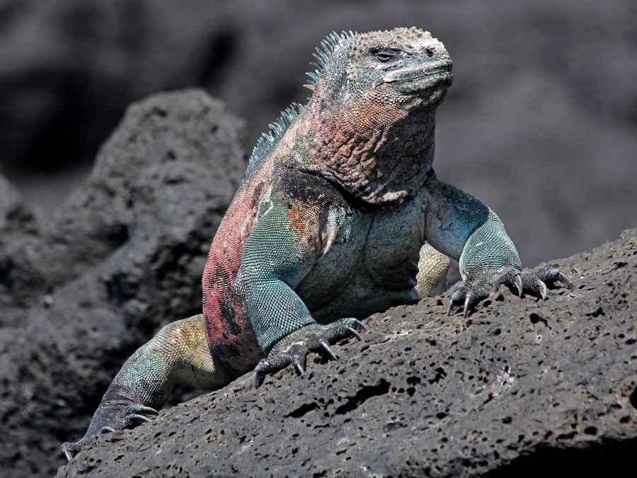Galapagos-marine iguana