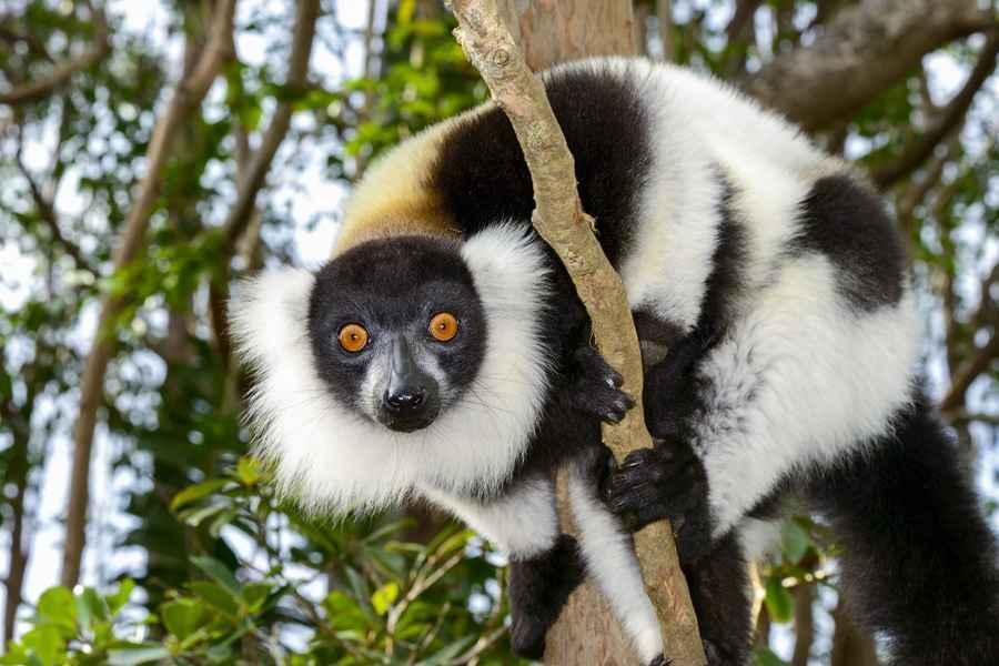 Lemur, Madagascar-resize