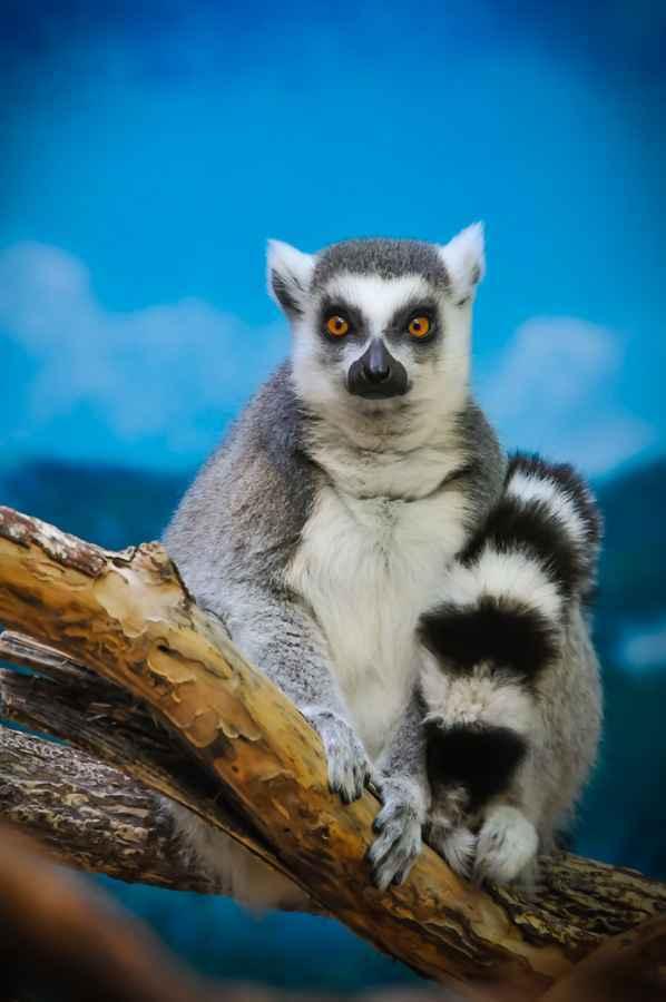 Lemur Sitting on a Branch