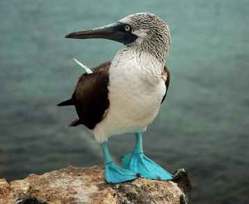 Galapagos-Blue-footed booby-web