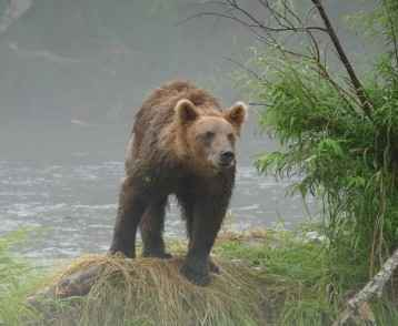 A bear in the morning mist