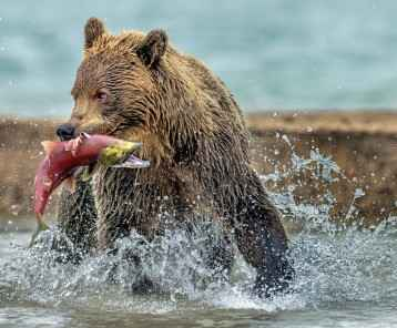 bear catches salmon - Kamchatka, Russia
