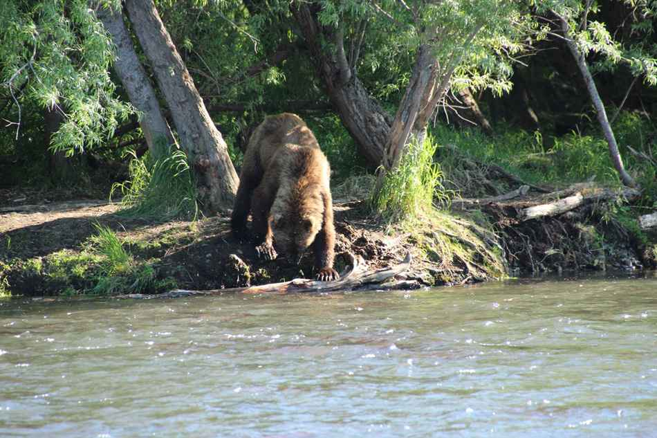 Bear at the lake