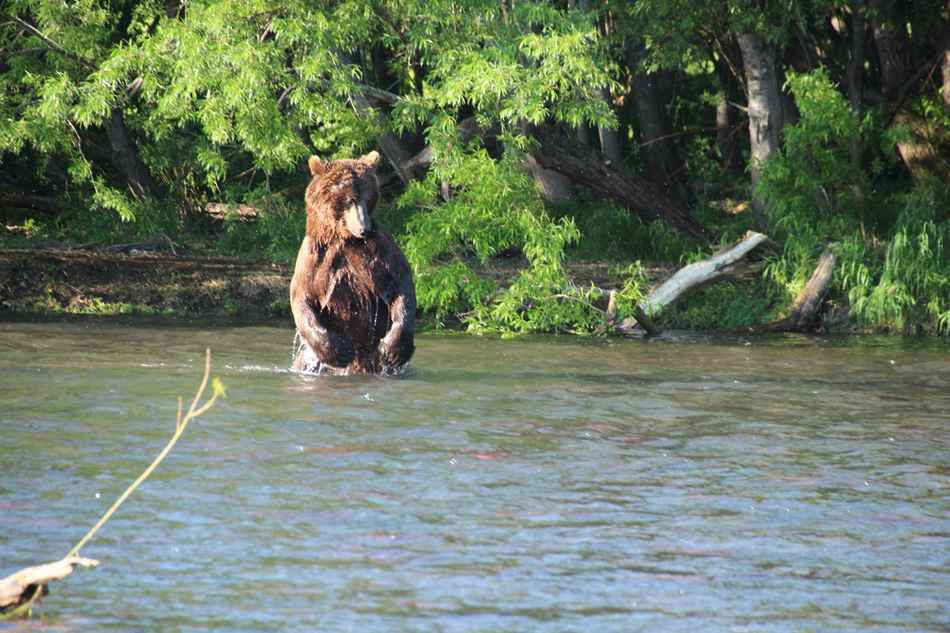 Bear standing in water