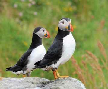 Puffins, St Kilda
