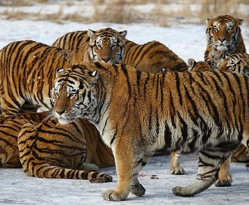 Siberian Tigers, Harbin