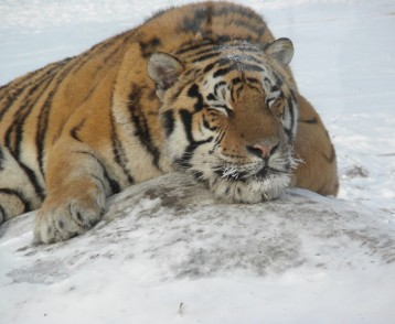 Up close and personal--a siberian tiger in Harbin