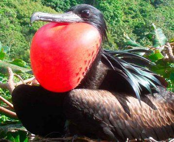 Christmas-Island-Frigatebird-2