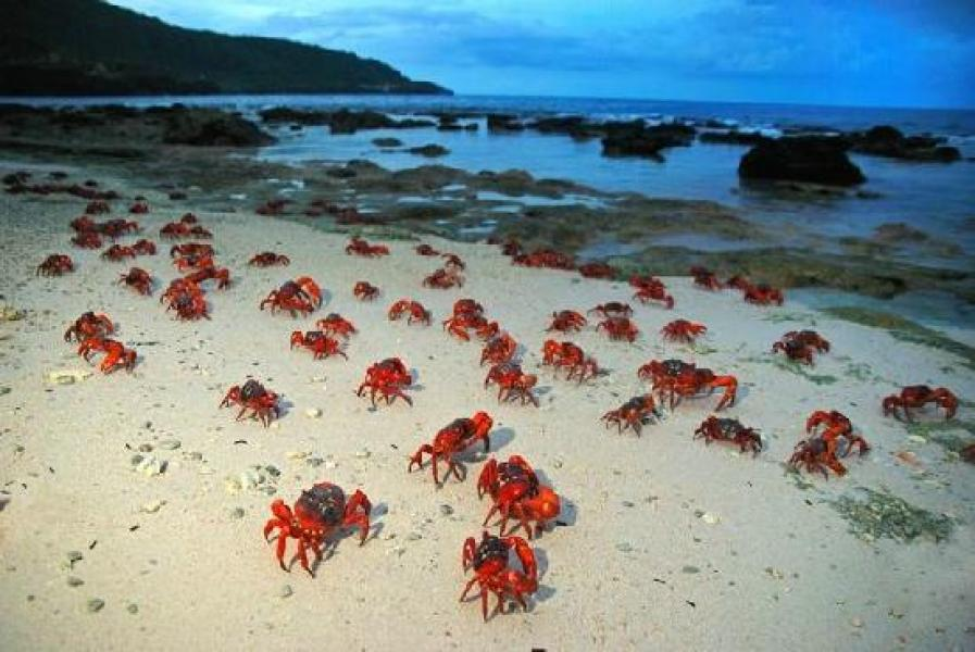 Red crabs at beach