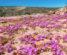 Blooming wildflowers in Kalbarri national park, Western australia